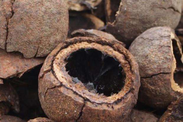 [Reportajes ANF] Voces de la Amazonía: Bajón histórico en la producción de castaña